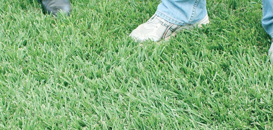 Kenda Kikuyu lawn grass
