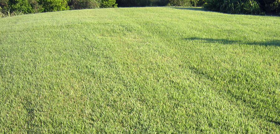 Nara native zoysia turf