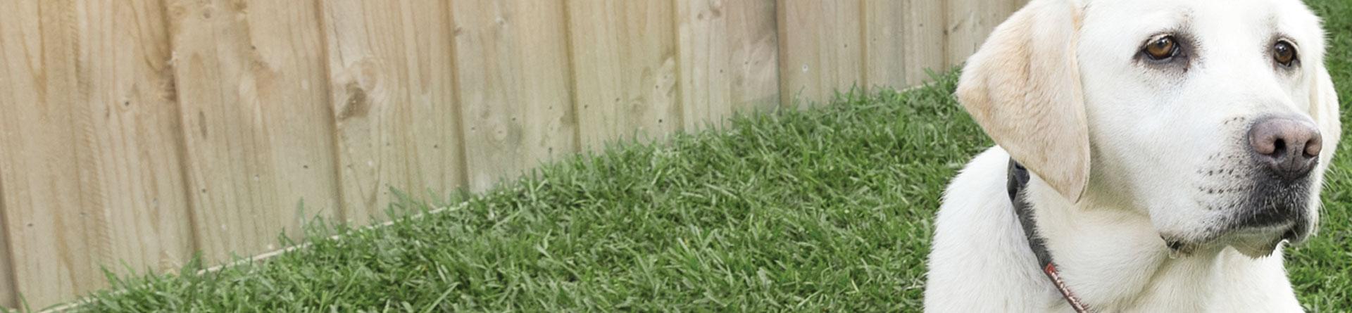Palmetto Buffalo grass