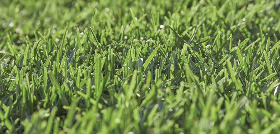 Sapphire Buffalo grass